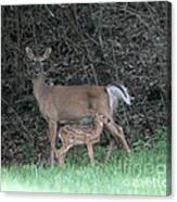 Mom And Baby Deer Canvas Print