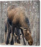 Mom And Young Moose Canvas Print
