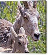 Momma And Baby Ram Canvas Print