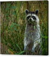Momma Coon Canvas Print