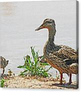 Momma Duck And Baby With A Different View Canvas Print