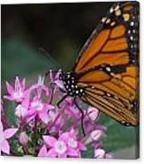 Monarch 2 Canvas Print