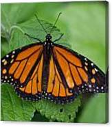 Monarch 3 Canvas Print
