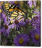 Monarch And Asters Canvas Print