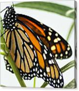 Monarch Beauty Canvas Print