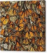 Monarch Butterflies Wintering Canvas Print