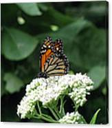 Monarch Butterfly 45 Canvas Print