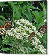Monarch Butterfly 47 Canvas Print
