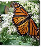 Monarch Butterfly 52 Canvas Print