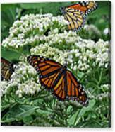 Monarch Butterfly 54 Canvas Print