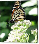 Monarch Butterfly 58 Canvas Print