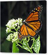 Monarch Butterfly 59 Canvas Print