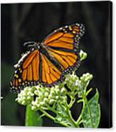 Monarch Butterfly 60 Canvas Print