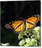 Monarch Butterfly 61 Canvas Print