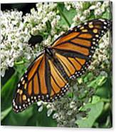 Monarch Butterfly 62 Canvas Print