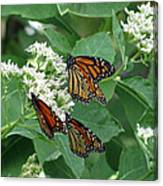 Monarch Butterfly 63 Canvas Print