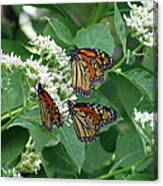 Monarch Butterfly 64 Canvas Print