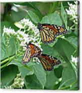 Monarch Butterfly 65 Canvas Print