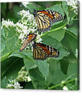 Monarch Butterfly 66 Canvas Print