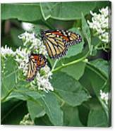 Monarch Butterfly 67 Canvas Print