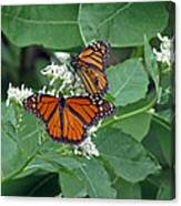 Monarch Butterfly 68 Canvas Print