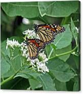 Monarch Butterfly 70 Canvas Print