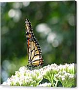 Monarch Butterfly 72 Canvas Print