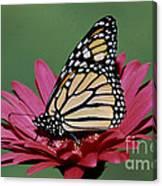Monarch Butterfly Danaus Plexippus Canvas Print