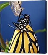 Monarch Butterfly Emerging From Chrysalis Canvas Print