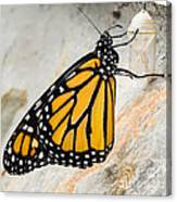Monarch Butterfly Just Emerged From Her Chrysalis Canvas Print