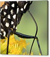Monarch Butterfly Male Feeding Canvas Print