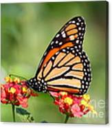 Monarch Butterfly On Lantana Flowers Canvas Print