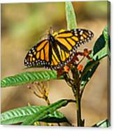 Monarch Butterfly On Plant With Eggs Canvas Print