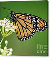 Monarch Butterfly On White Milkweed Flower Canvas Print