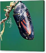 Monarch Butterfly Ready To Emerge Canvas Print