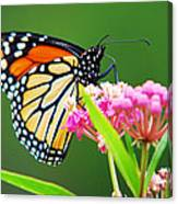 Monarch Butterfly Simple Pleasure Canvas Print