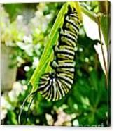 Monarch Caterpillar 5 Canvas Print