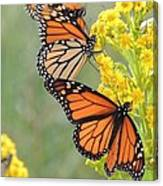 Monarch Gathering Canvas Print