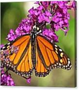 Monarch Hangs On To Buddleia Canvas Print
