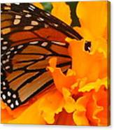 Monarch In The Marigold Canvas Print
