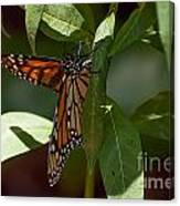 Monarch In The Shade Canvas Print