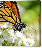 Monarch Moment Canvas Print