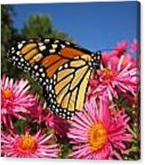 Monarch On Pink Asters Canvas Print