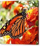 Monarch On Marigold Canvas Print