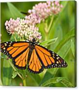 Monarch On Pink Canvas Print