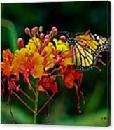 Monarch On Pride Of Barbados Canvas Print