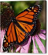 Monarch On Purple Coneflower Canvas Print