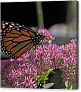 Monarch On Sedum Canvas Print