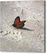 Monarch On The Beach Canvas Print