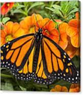 Monarch Resting Canvas Print